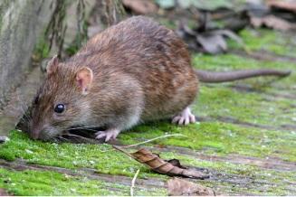 sıçan_fare_ilaçlama