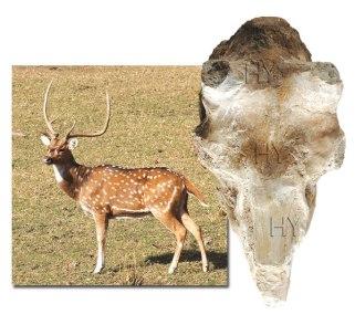 deer_fossil